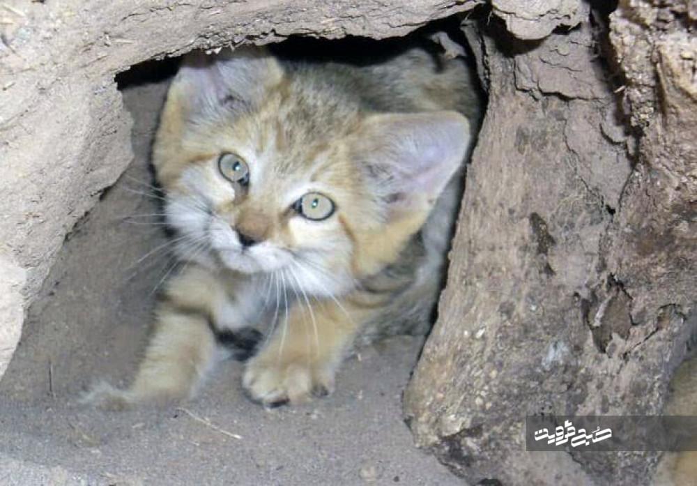 مشاهده و تصویربرداری یک قلاده گربه وحشی در آوج