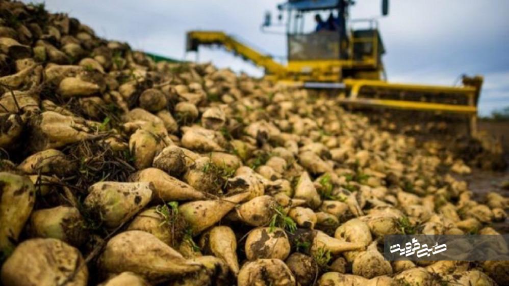 پیش بینی تولید ۵۶ هزار تن چغندر قند در قزوین