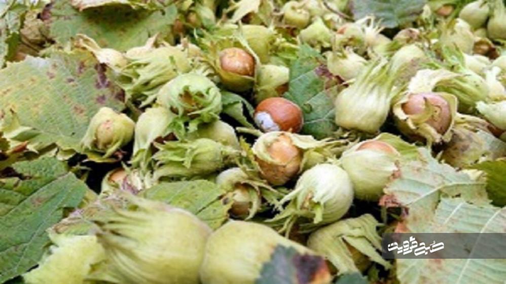 پیش بینی برداشت ۳ هزار تن فندق از باغهای استان قزوین