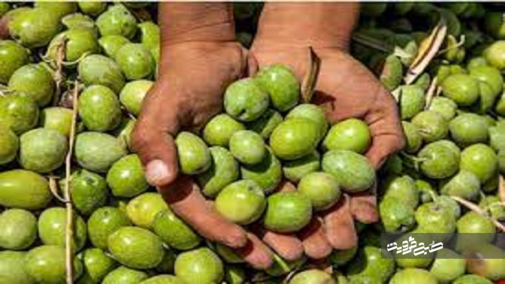 برداشت بیش از ۱۸ هزار تن زیتون از باغات قزوین