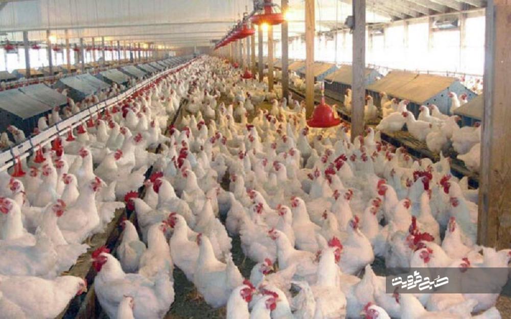 کمبود نهادهها زمینهساز گرانی تخممرغ/ روزانه ۴۰ تُن تخم مرغ در استان تولید میشود