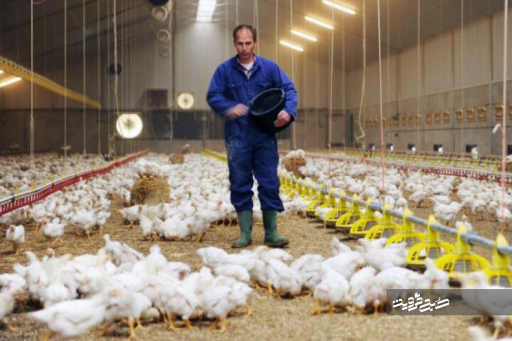 حیف و میل صنعت مرغ در ورطه دلالان/ کمبود و بیکیفیتی نهادهها تیرخلاص به تلفات مرغداریها زد