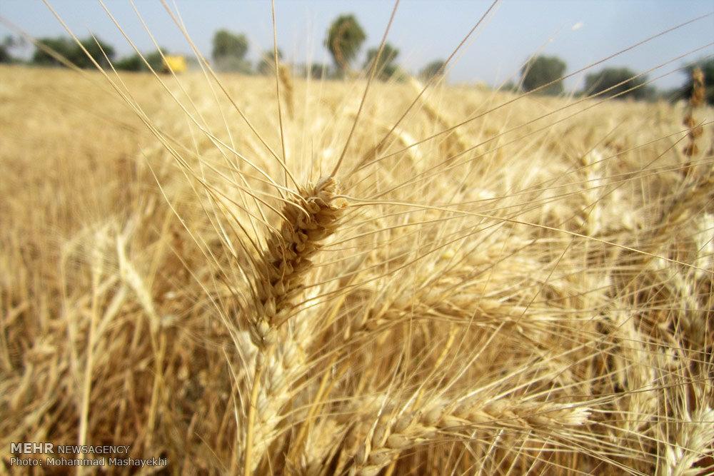 مبارزه با آفت سن غلات در گندم زارهای قزوین انجام شد