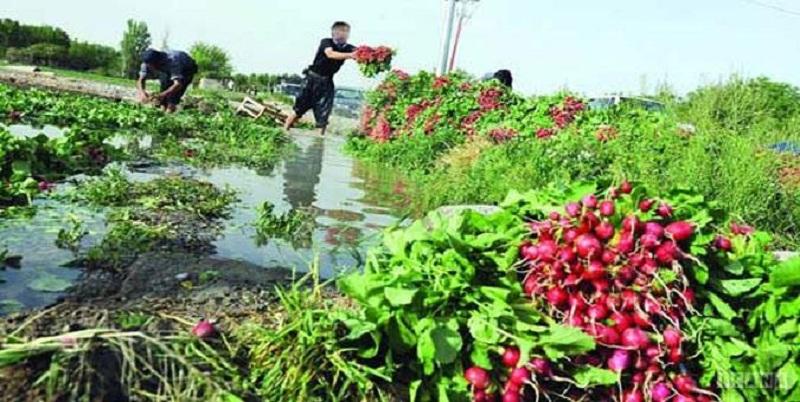 زمینهای کشاورزی آبیاری شده با فاضلاب شناسایی شد