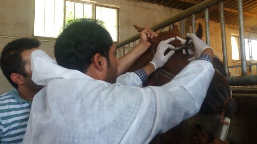 """۵۶۴ راس اسب در قزوین از نظر بیماری """"مشمشه"""" تست شدند"""
