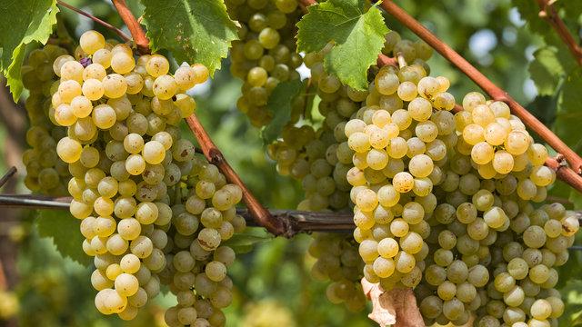 برداشت انگور از ۲۵هزار هکتار از باغات تاکستان آغاز شد