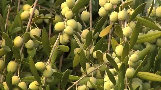 تولید محصول زیتون در سال جاری بالغ بر ۲۵هزار تن است