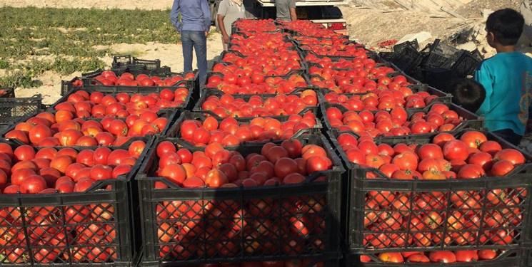 بیش از ۳هزار تن گوجهفرنگی از کشاورزان قزوین خریداری شد