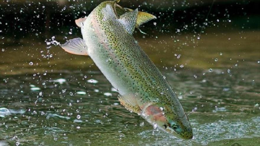 """صنعت ماهی قزلآلا در چنبره """"بیوتروریسم""""/ وعده اصلاح نژادی که ۱۵ سال است به آمالی برای تولیدکنندگان تبدیل شده!"""