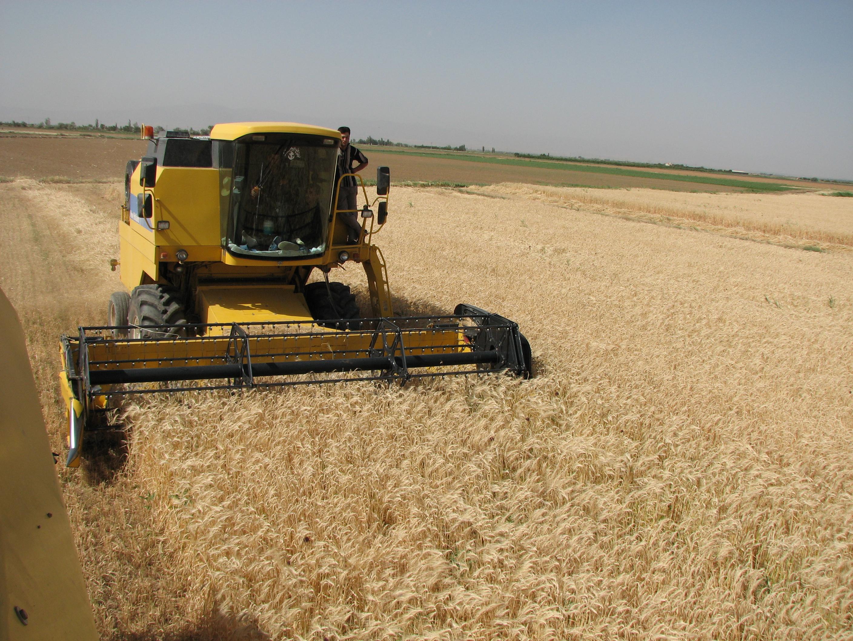 پیشبینی تولید ۳۳۰ هزار تنی گندم در استان قزوین