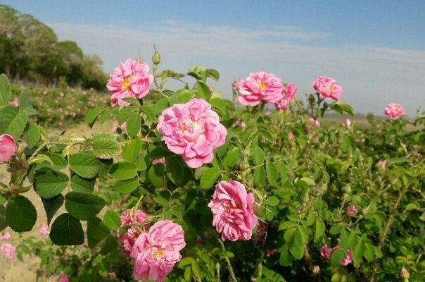 آغاز برداشت گل محمدی از ۹۶ هکتار مزارع کشاورزی قزوین