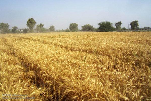 خرید تضمینی ۲۵۰ هزار تن گندم از کشاورزان قزوینی