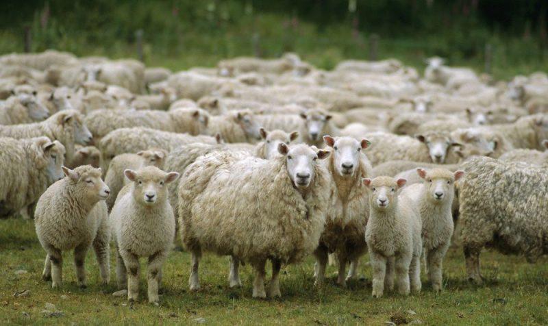 تصویر هوایی جالب از گله گوسفندها