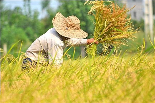 """جای خالی """"الگوی کشت"""" در مزارع ایرانی/ گنج صنعت کشاورزی در پستوی غفلت دولت خاک میخورد!"""