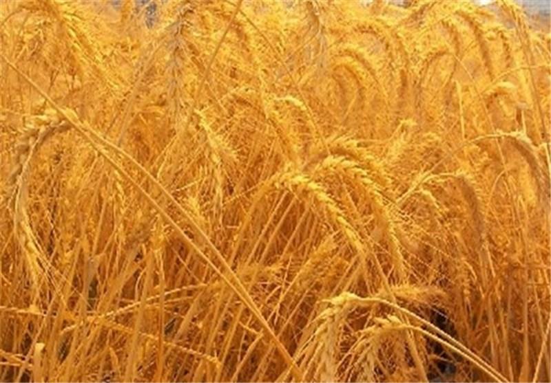 سالانه ۹۴۰۰ تن بذر گندم و جو در مزارع کشاورزی قزوین تولید میشود