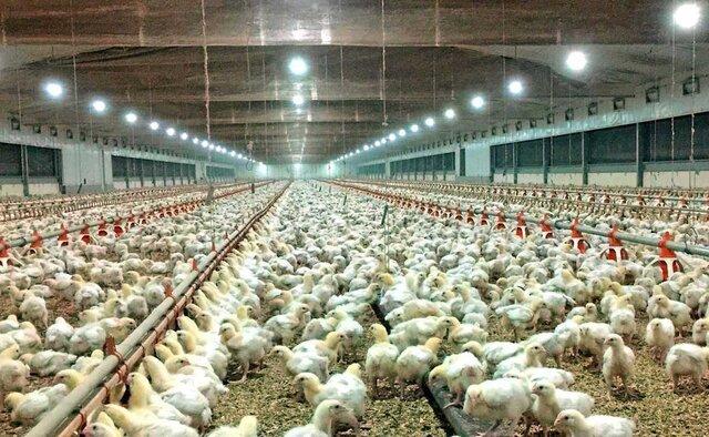 افزایش ۱۰ درصدی جوجهریزی در واحدهای مرغ گوشتی قزوین