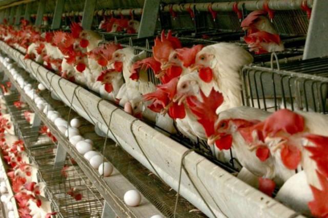 تولید ۲۰ هزار تن تخممرغ در مرغداریهای قزوین