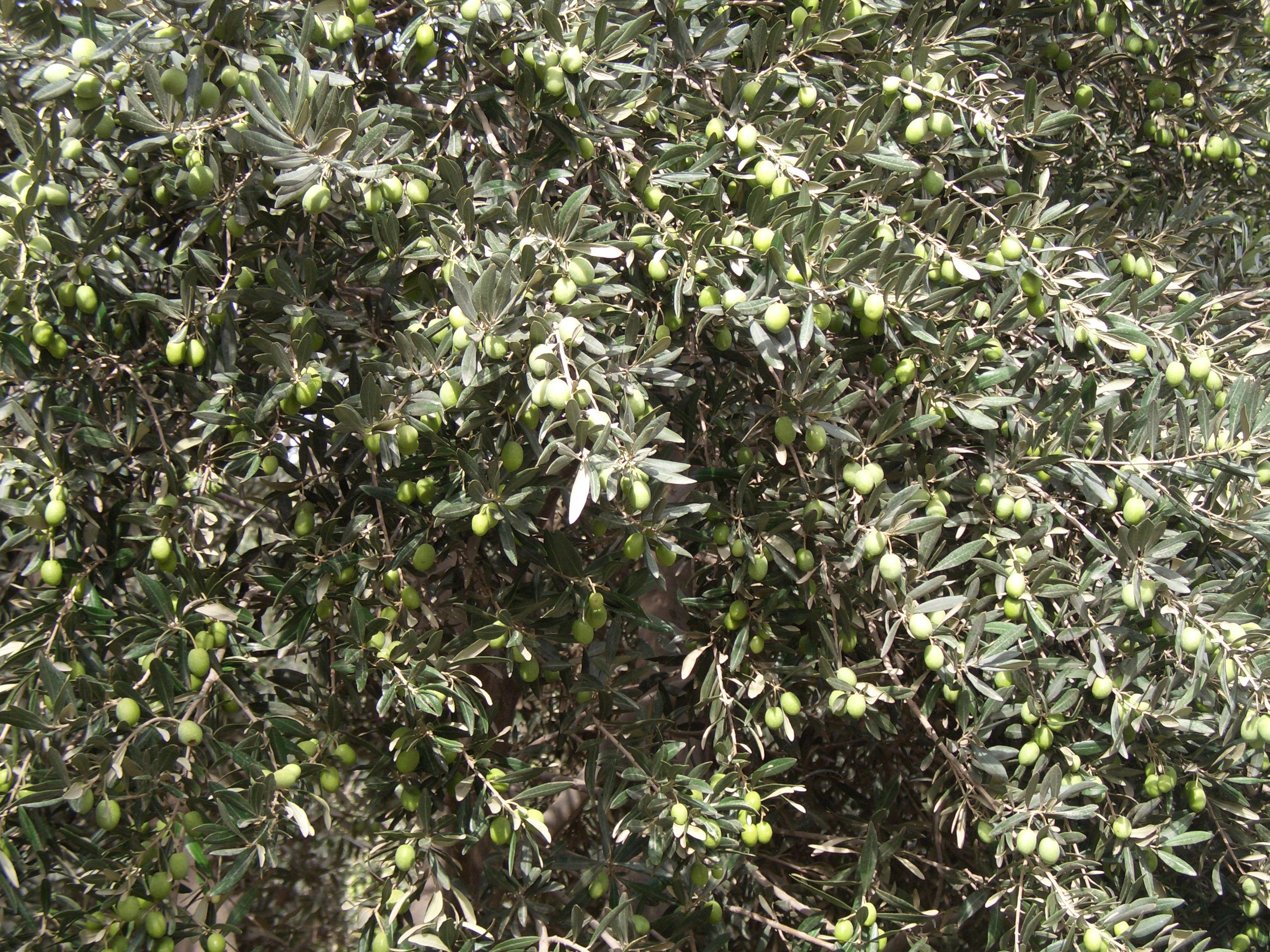برداشت زیتون از سطح ۹۷۵۰ هکتار باغات قزوین آغاز شد