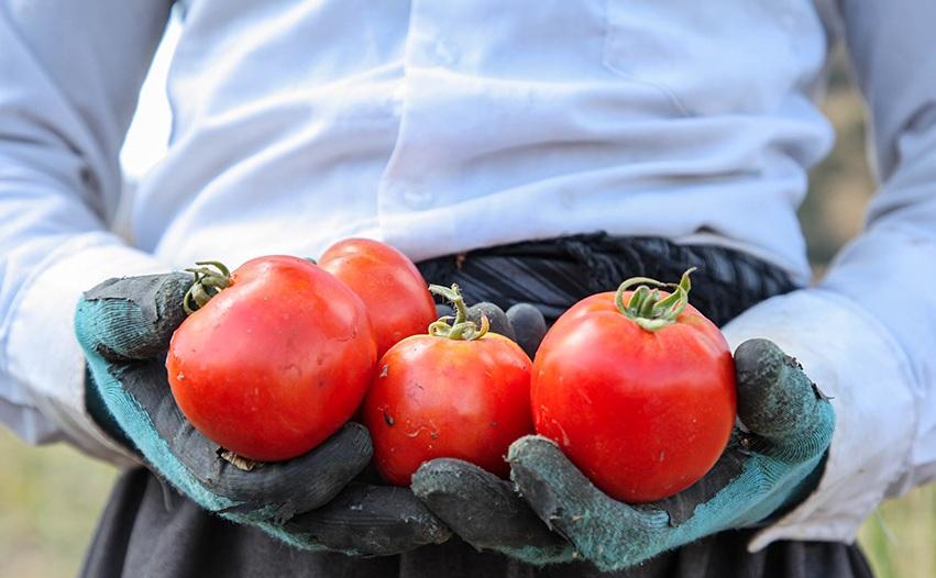 تصاویری جالب از برداشت گوجه فرنگی