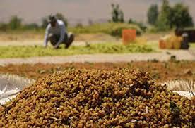 جولان دلالان در خرید و فروش کشمش تاکستان/ جهاد کشاورزی و تعاونروستایی پاسخگوی کشاورزان باشند
