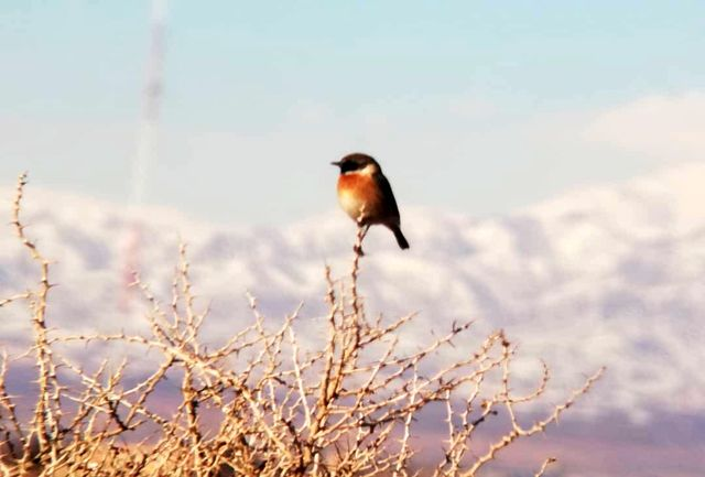 """پرنده چک اروپایی در تالاب """"الله آباد"""" آبیک مشاهده شد"""