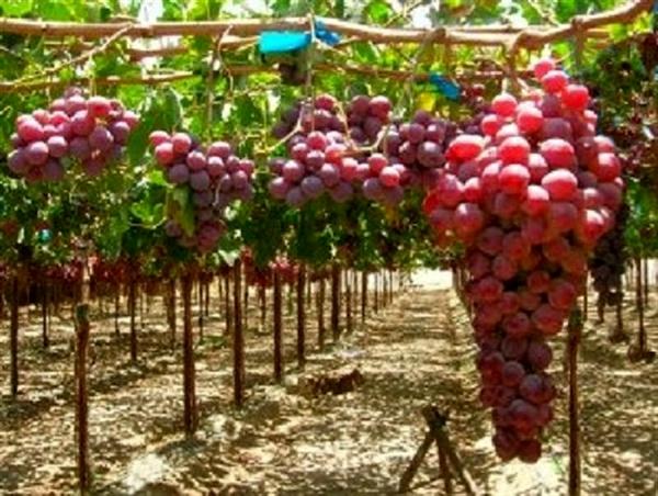 بیش از ۵۰درصد محصولات باغی مربوط به انگور است/ ۳هزار متقاضی تسهیلات داربستی کردن باغات انگور