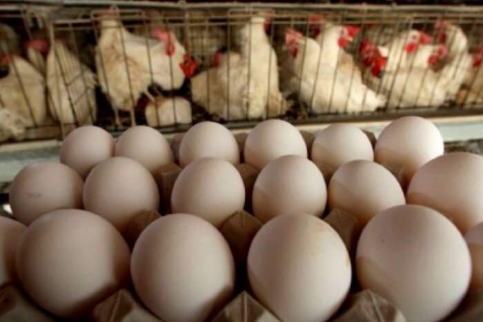 تولید تخم مرغ در قزوین پنج برابر نیاز استان است